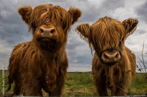 Fototapeta Two Highland Cows obraz