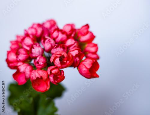 Tela the blossoming geranium pelargonium tulipa Red Pandora