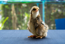 Baby Mini Wyandotte Chick On B...