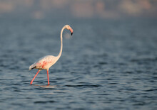 Greater Flamingo During Low Ti...