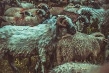 A Sheared Sheep