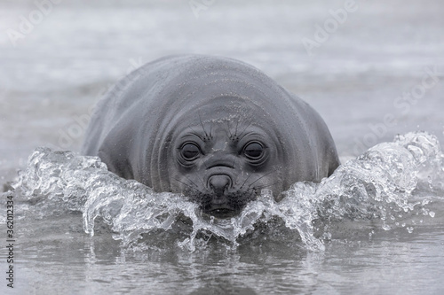 Southern Elephant Seal weener pup coming ashore Canvas Print