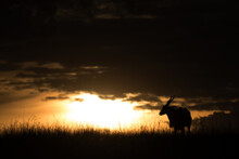 Silhouette Of Eland Antelope D...