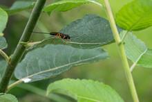 Black Ichneumon Fly With Orange Legs Sitting On A Green Leaf