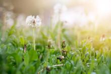 Dandelions On The Field. Drops...