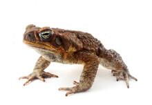 Cane Toad (Rhinella Marina) Lo...