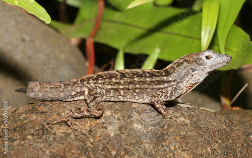 This Brown Anole (Anolis sagrei) has lost most of its tail, but part of it is regenerating in a tiny stub Fototapet
