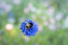 A Cute Furry Plump Bumblebee O...