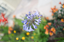 A Beautiful Blue Agapanthus Flower Against A Soft Focus Back Ground Of Yellow, Orange, Yellow And Green Flowers In A Flower Bed Near A White Patio.