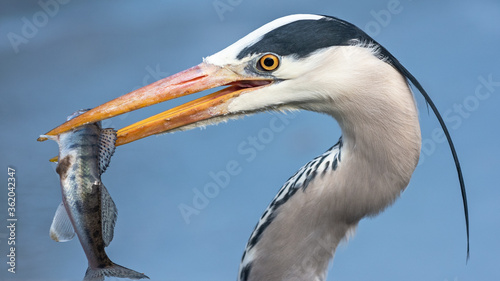 Obraz na płótnie Side view of a gray heron with a fish in its beak