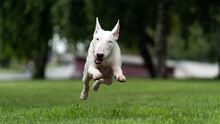 English White Bull Terrier Run...