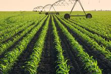 Green Young Corn Field In Spring With Irrigation System For Water Supply, Sunset