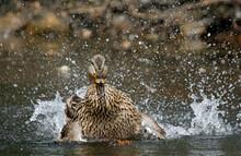 Female Mallard Bathing And Pre...