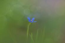 Stiff Blue Eyed Grass Flower I...