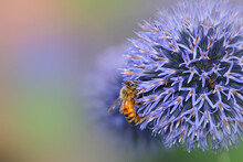 Globe Thistle Flowers With Bee...
