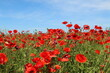 Summer flowers in the meadow and clouds above them. Poppy and chamomile flowers on a sunny day