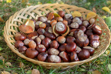 Group Of Fresh Chestnuts On Sh...