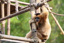 Brown Monkey With Long Arms
