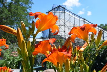 Orange Lilies In Front Of A Gr...