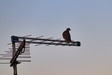 Dove Perched On A Tv Antenna U...