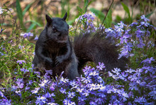 Black Squirrel  Stands In A Field Of  Purple Spring  Flowers