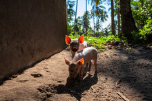 Two Piglets With Pink Ear In T...