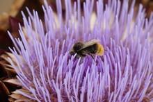 Working Bee On A Artichoke Flower