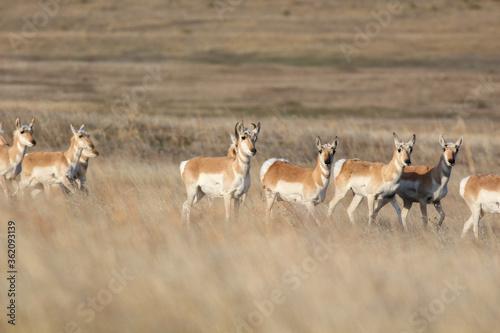 Nebraska Antelope