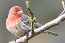 A Male House Finch On A Peach Branch With New Growth.