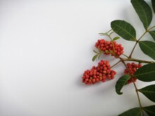 Red Currants On A Branch