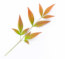Heavenly Bamboo Nandina Colorful Fall Leaf On White Background