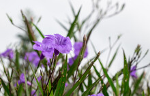 Closeup Of Wild Violet Petunias Flowers With Green Leaves On White Background.
