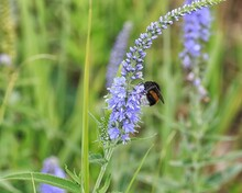 Bumblebee On A Blue Wildflower