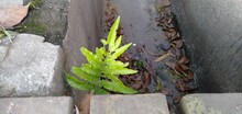 Fern With Gutter Background