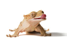 Crested Gecko Licking Its Nose...