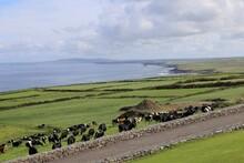 Grazing Cattle In  A Seaside F...