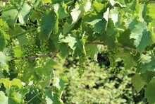 Young Green Grape Branches On The Vineyard In Italy.Close-up Baby Ovary Grapes And Flowers Cluster. Growing Grapes On The Nature In Sunny Day