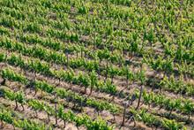 Backgroound Of Vineyards In Gr...