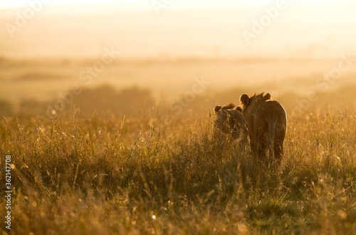 Fotografie, Tablou Lion and lioness in the morning hours, Masai Mara