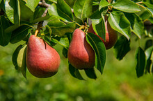 Ripe Pears Hang On A Branch Co...