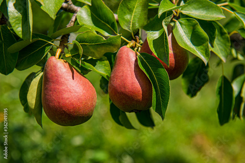 Obraz ripe pears hang on a branch covered with green foliage. - fototapety do salonu