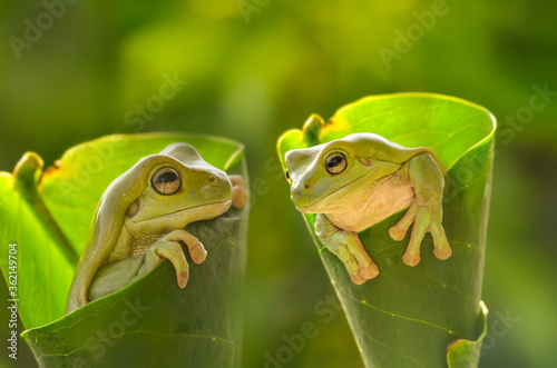 Green frog again stylish Wallpaper Mural