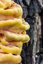 Sulfur Yellow Tinder Fungus On...