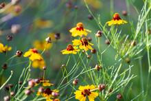Tickseed Wildflowers Of Oklahoma
