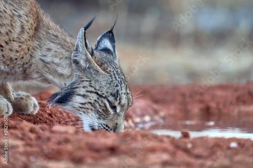 Iberian lynx drinking water