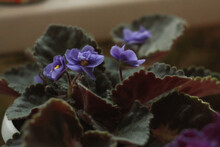 Volumetric Terry Lush Indoor Home Blooming Violets.
