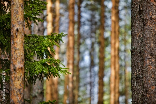 Valokuvatapetti Pine trees and fir trees in spring Coniferous forest close up