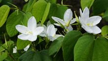 White Orchid Or Bauhinia Acumi...