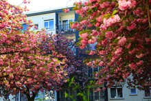 Urban Tree With Pink Flowers I...