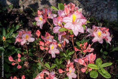 Fotografía Rhododendron 'Satomi' (Rhododendron x mollis) in garden, Moscow region, Russia
